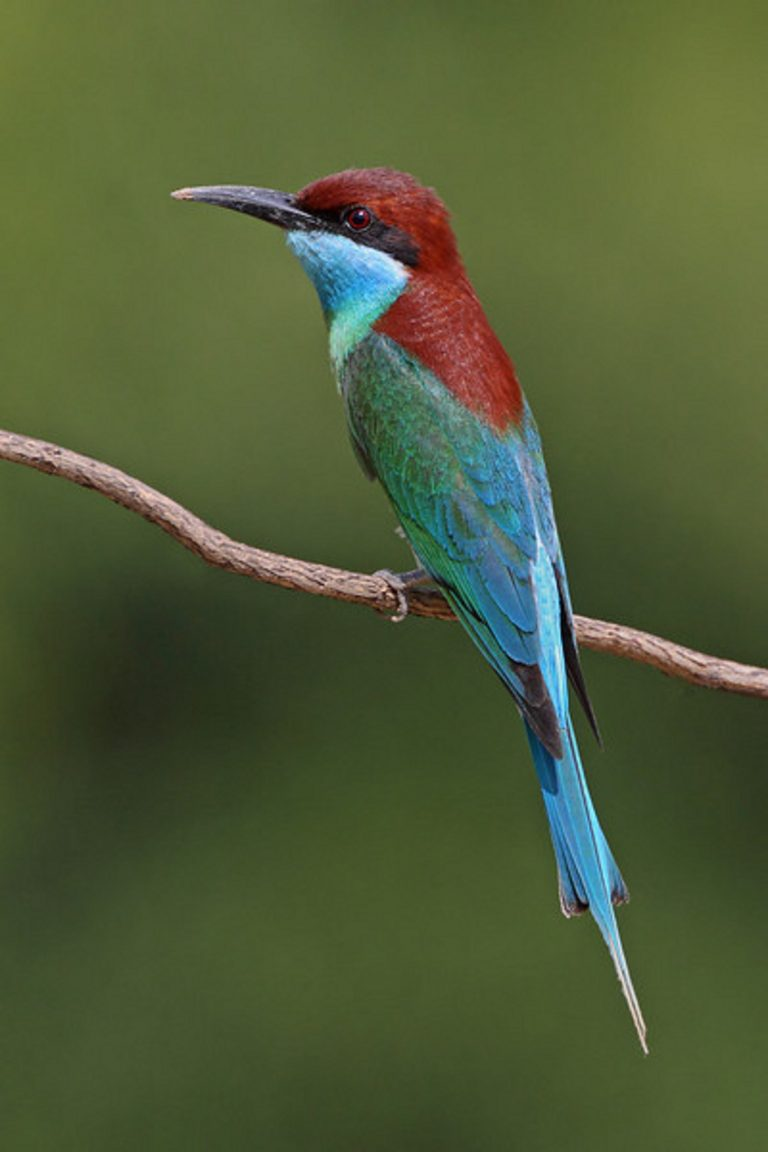 Blue-Throat Bee Eater