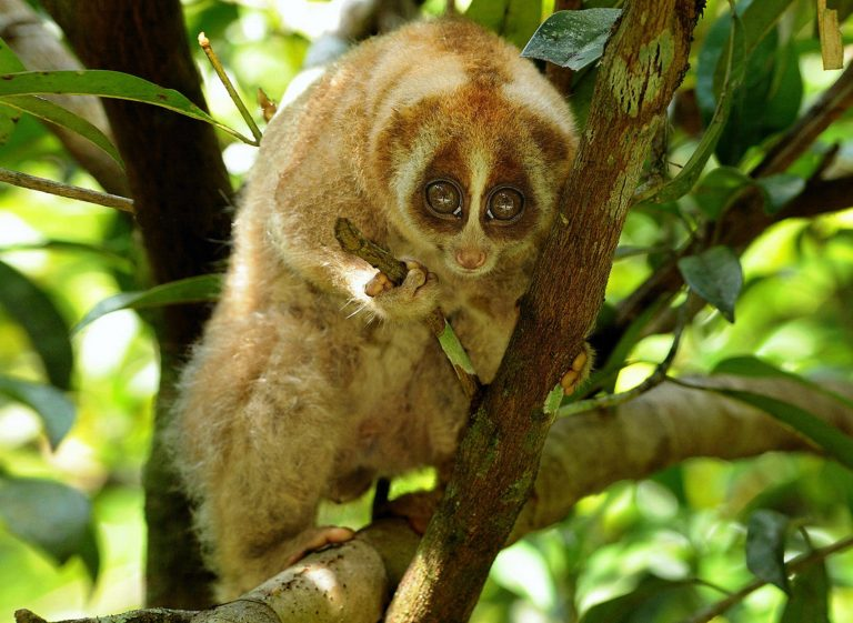 Borneon Slow Loris