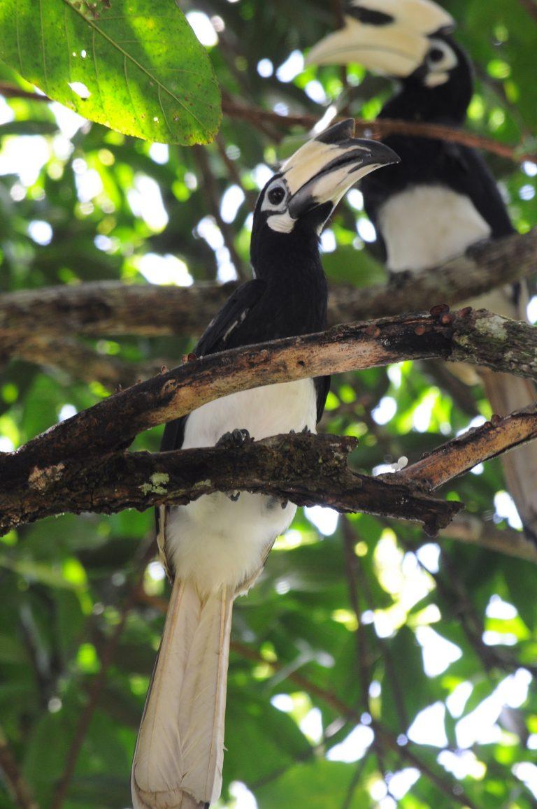 Oriental-pied hornbill