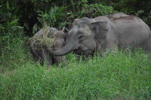 Pigmey Elephant