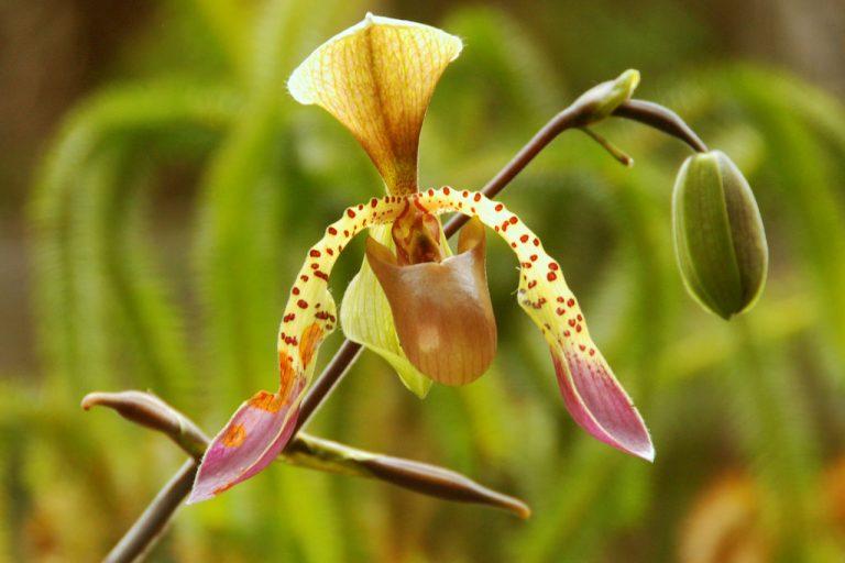 Low's slipper orchid (Paphiopedilum lowii)