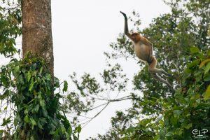 Proboscis Monkey Kinabatangan
