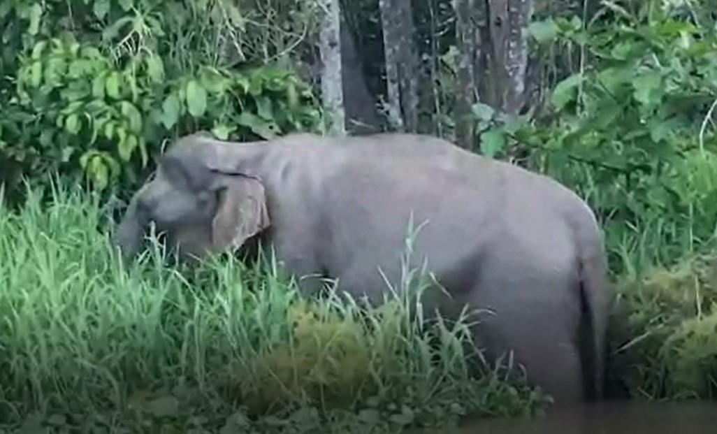 Nature Lodge Kinabatangan- Bornean Elephants