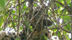 A Rare Clouded Leopard Spotted in Nature Lodge Kinabatangan, Borneo, Sabah